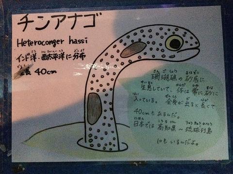 水族館で発見したチンアナゴの解説です。